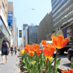 The tulips season has started in Toronto