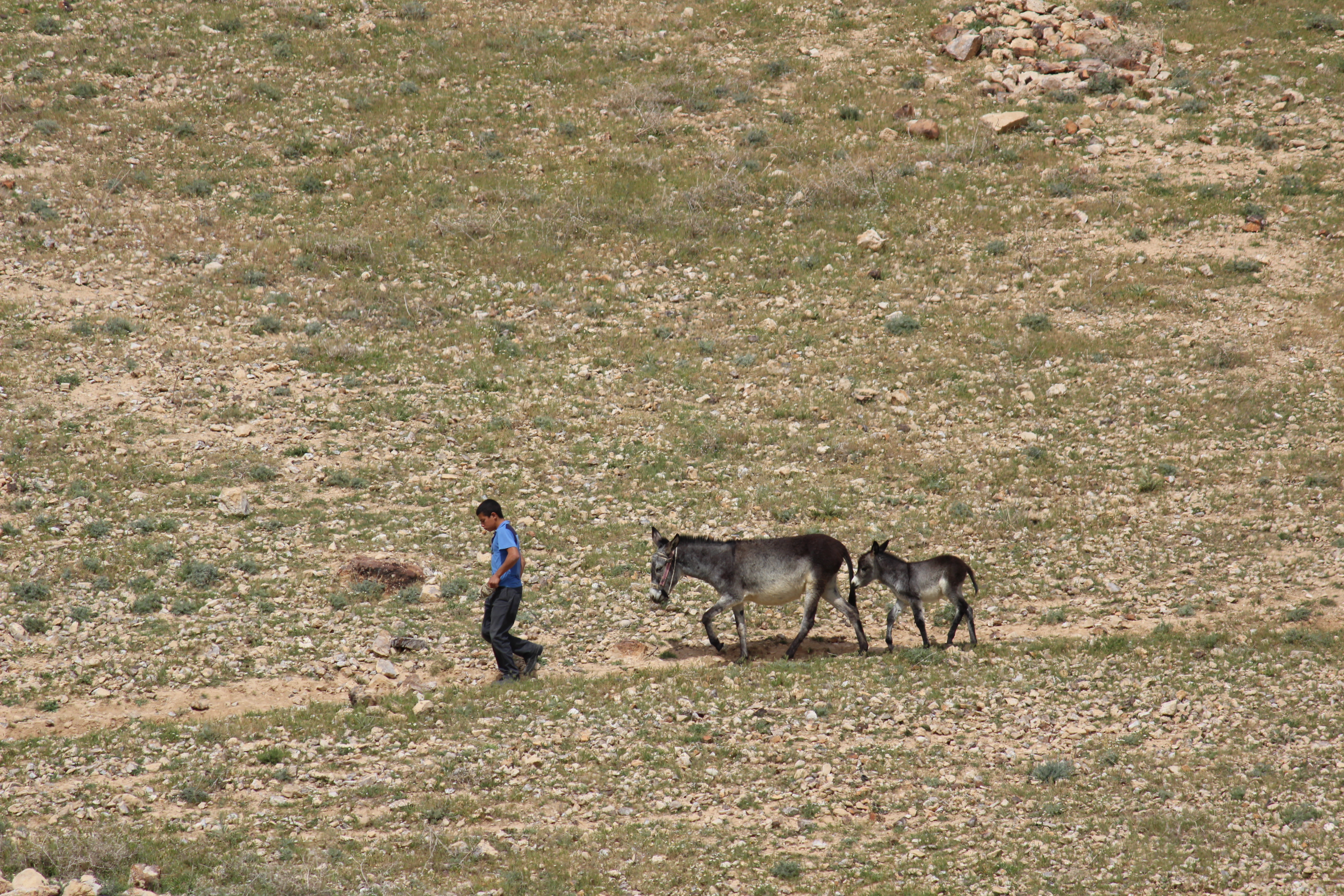 Bedouin child with donkeys