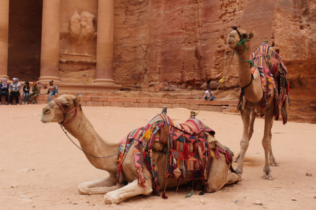 The camels, as they should, are completely indifferent