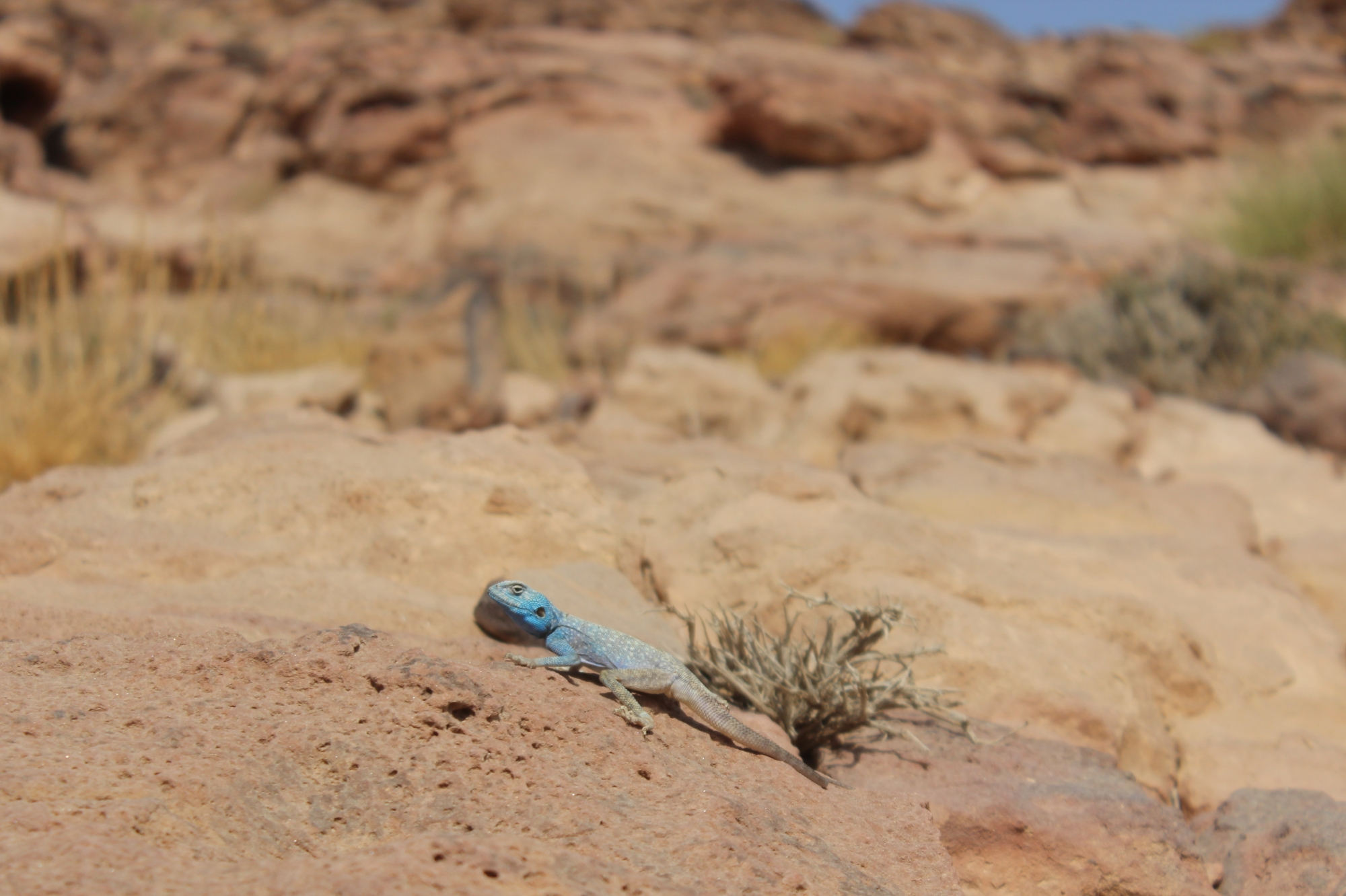 This male Sinai agama lizard is bright blue to attract females during the breeding season