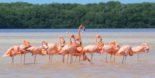 Celestun – Flamingos and Mangroves on the coast of Yucatan